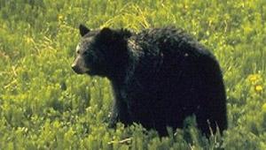 Bärenbeobachtung